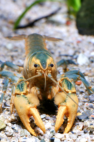 /crayfish/photos/PID00096_hr.jpg