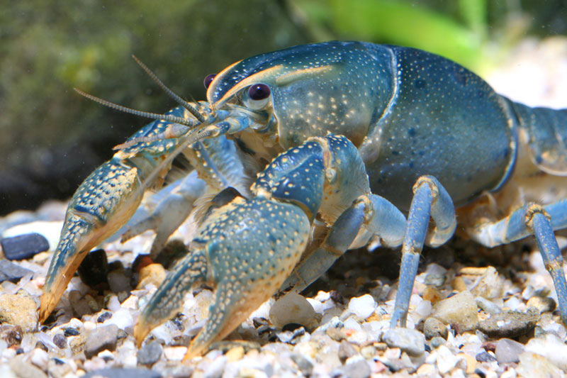 /crayfish/photos/PID00097_hr.jpg