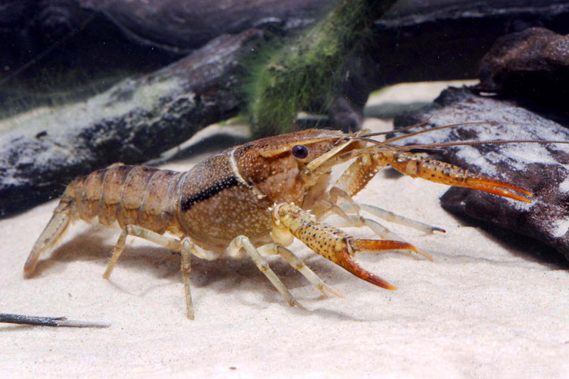 /crayfish/photos/PID00098_hr.jpg