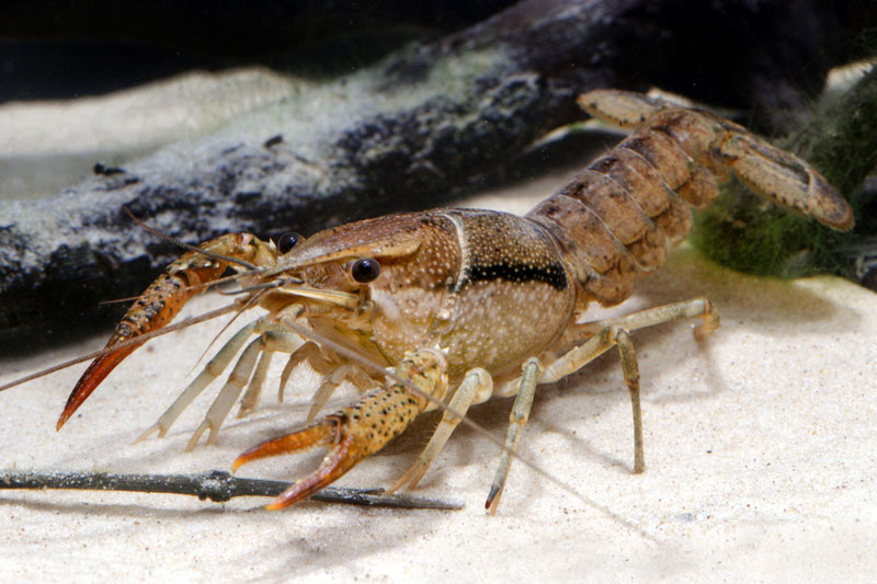/crayfish/photos/PID00099_hr.jpg