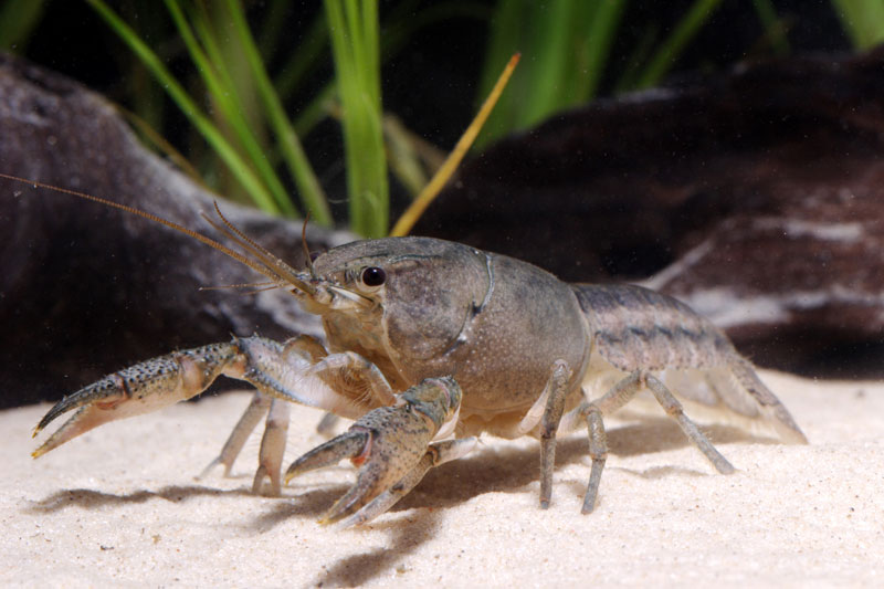 /crayfish/photos/PID00115_hr.jpg