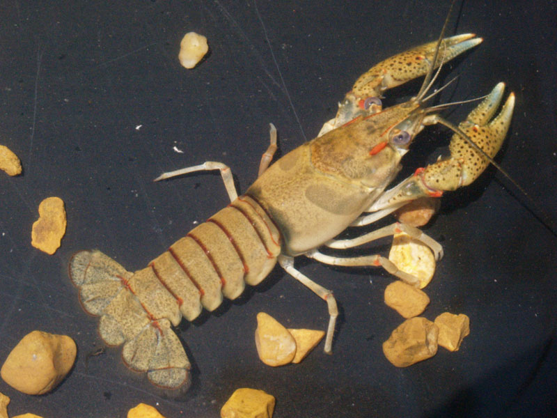 /crayfish/photos/PID00145_hr.jpg