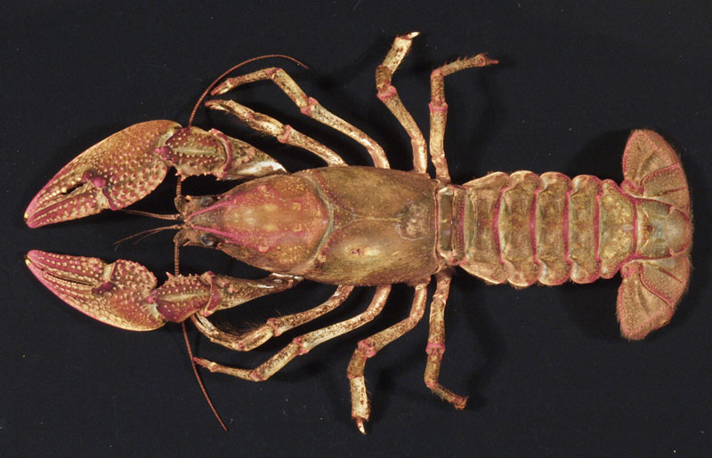 /crayfish/photos/PID00163_hr.jpg