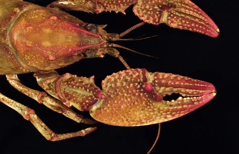 /crayfish/photos/PID00164_hr.jpg
