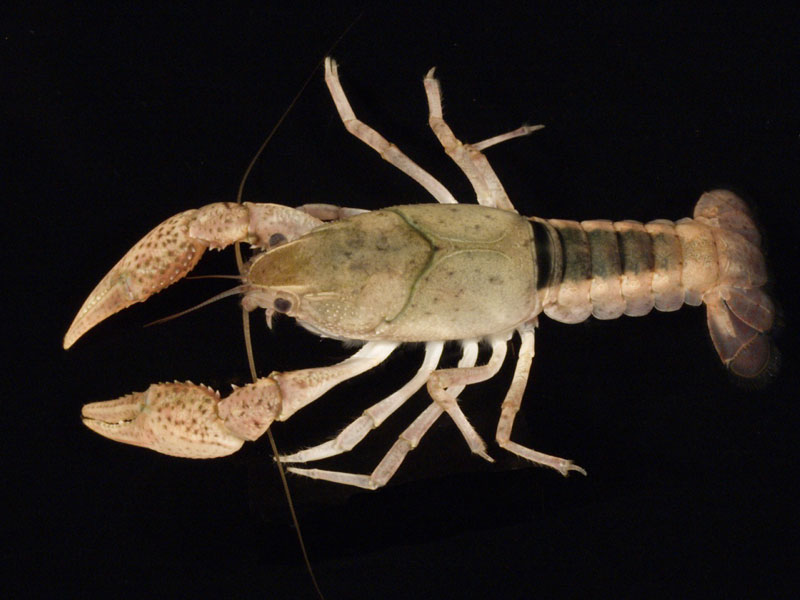/crayfish/photos/PID00548_hr.jpg