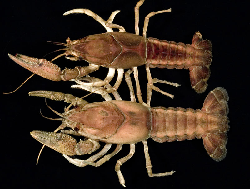 /crayfish/photos/PID00582_hr.jpg