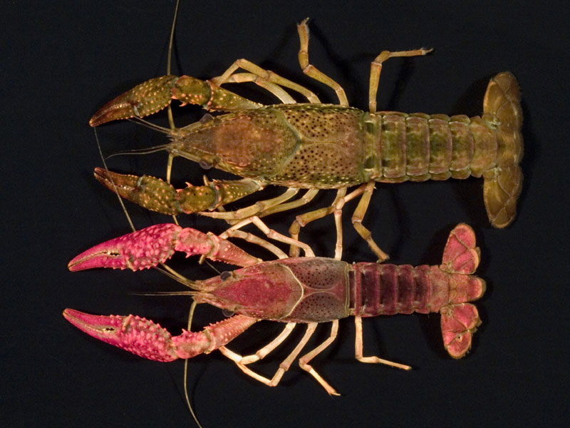 /crayfish/photos/PID00683_hr.jpg