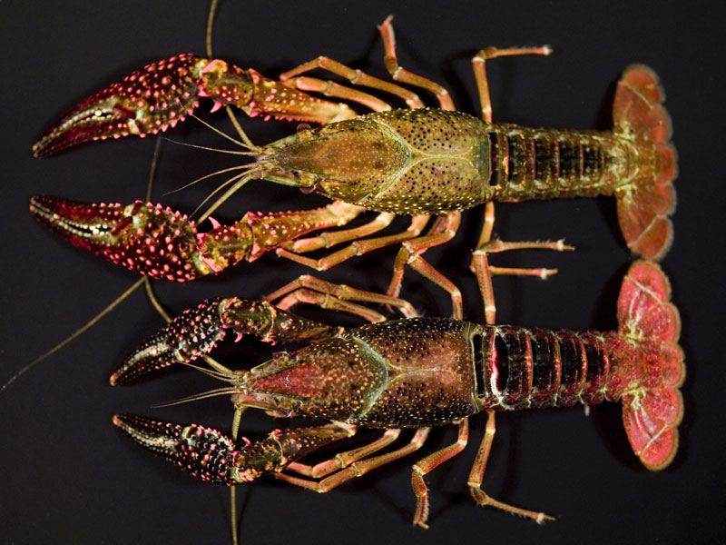 /crayfish/photos/PID00686_hr.jpg