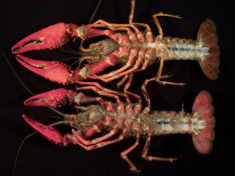 /crayfish/photos/PID00687_hr.jpg