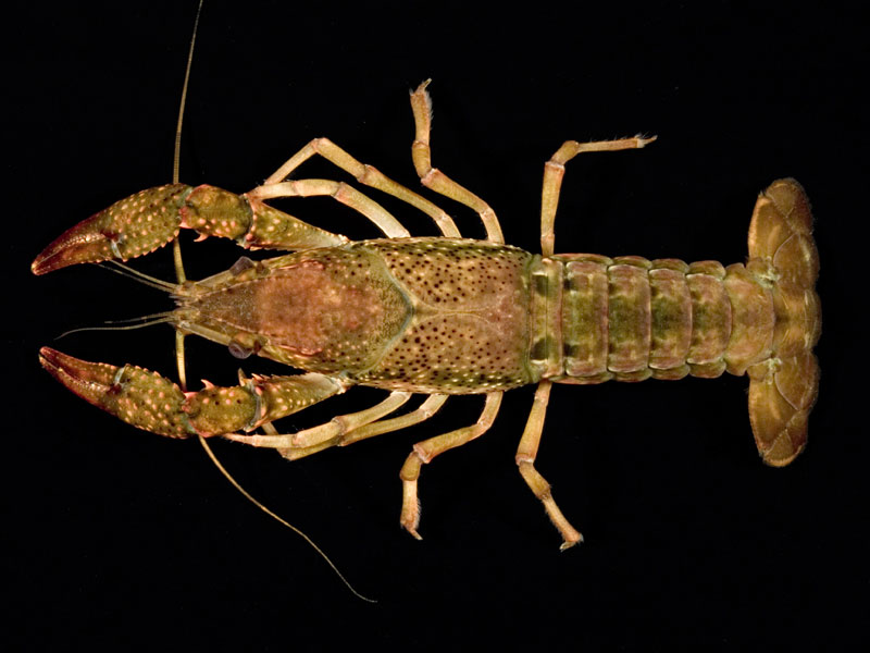 /crayfish/photos/PID00695_hr.jpg
