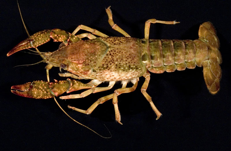 /crayfish/photos/PID00696_hr.jpg