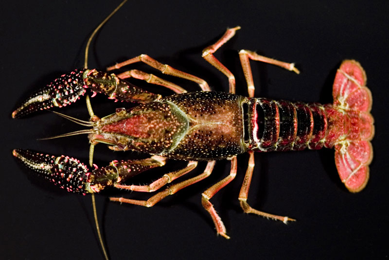 /crayfish/photos/PID00702_hr.jpg
