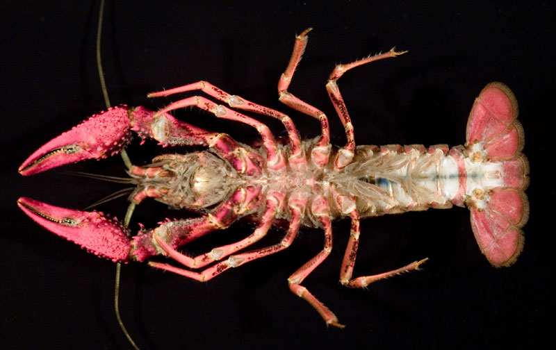 /crayfish/photos/PID00705_hr.jpg