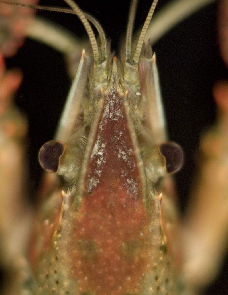/crayfish/photos/PID00707_hr.jpg