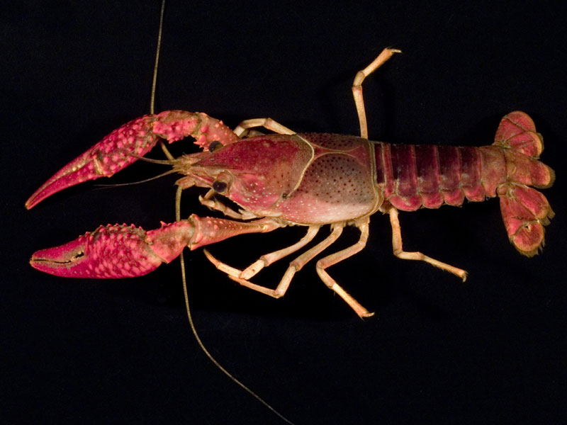 /crayfish/photos/PID00717_hr.jpg
