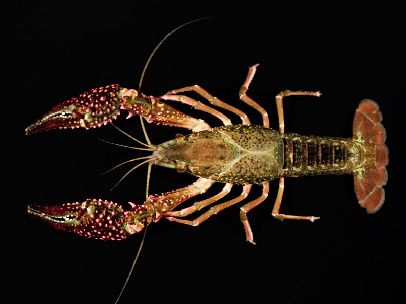 /crayfish/photos/PID00731_hr.jpg