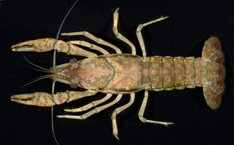 /crayfish/photos/PID00744_hr.jpg