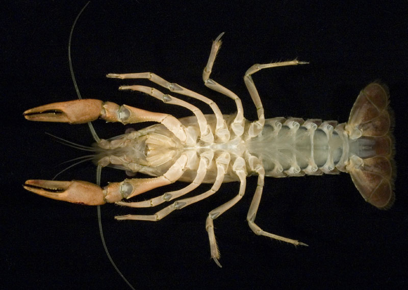 /crayfish/photos/PID00748_hr.jpg