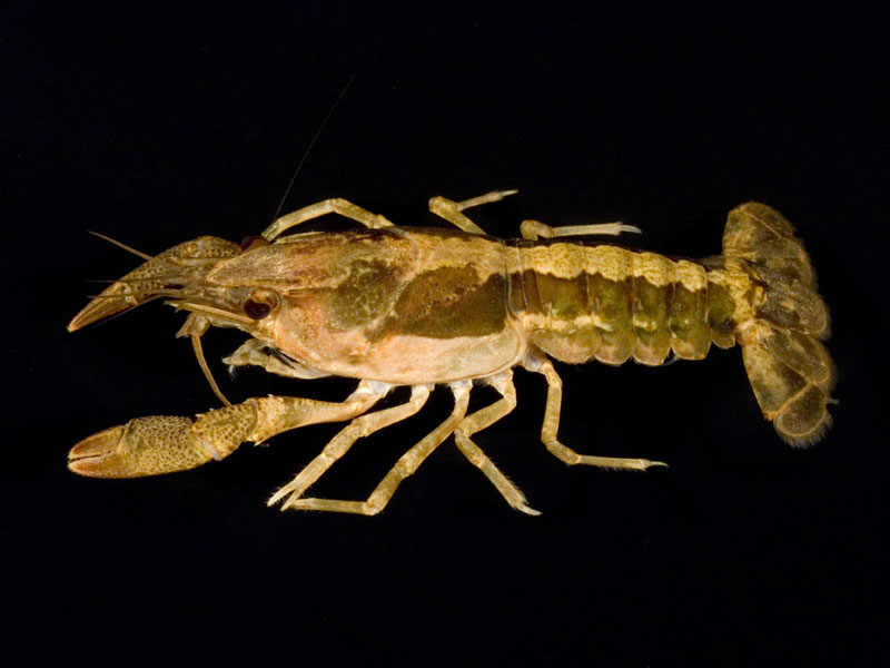 /crayfish/photos/PID00913_hr.jpg
