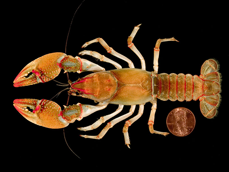 /crayfish/photos/PID00954_hr.jpg