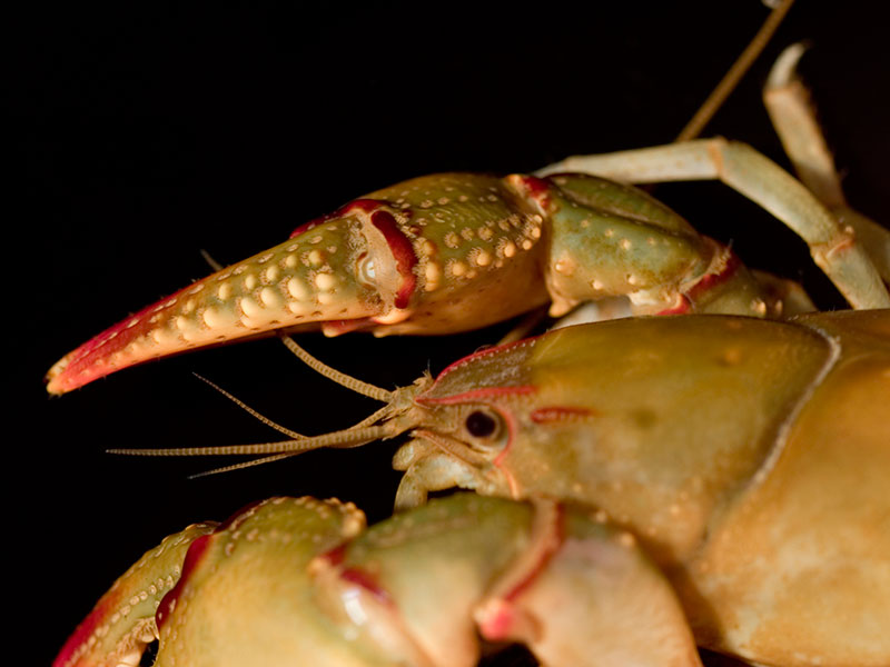 /crayfish/photos/PID00979_hr.jpg