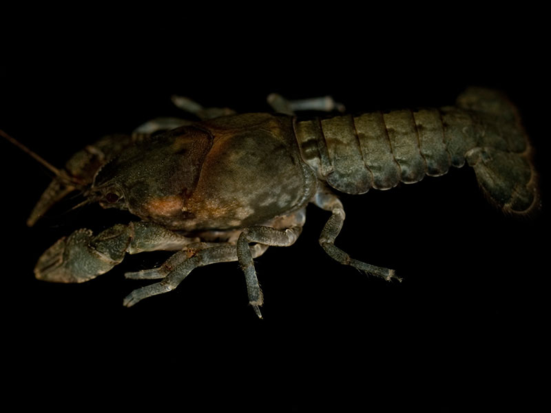 /crayfish/photos/PID00982_hr.jpg