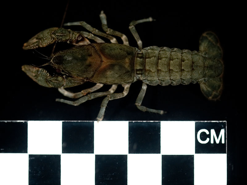 /crayfish/photos/PID00985_hr.jpg
