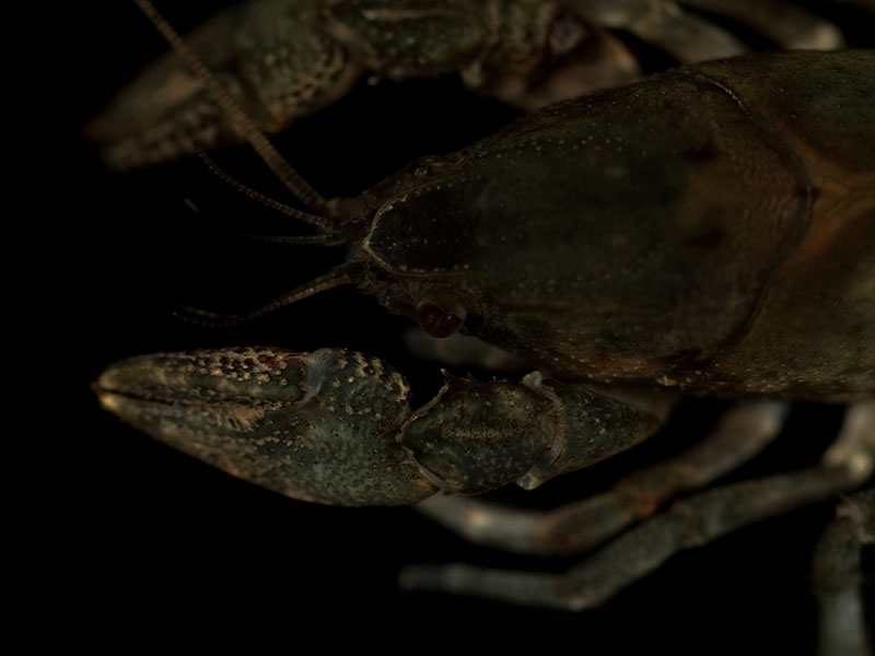 /crayfish/photos/PID00987_hr.jpg
