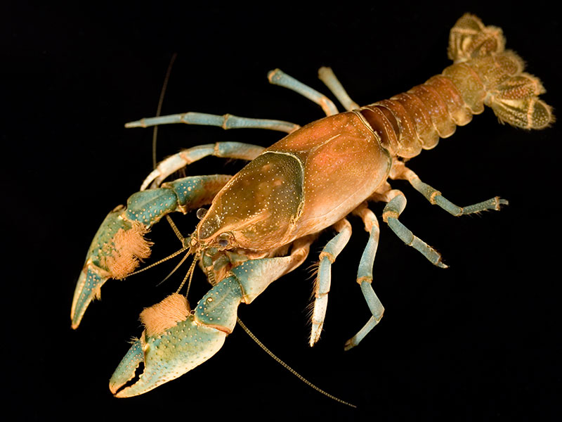 /crayfish/photos/PID01063_hr.jpg