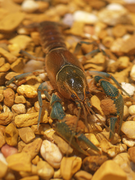 /crayfish/photos/PID01077_hr.jpg