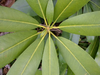 image: rhododendron leaves