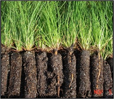 Container Grown Longleaf Pine Seedlings Research