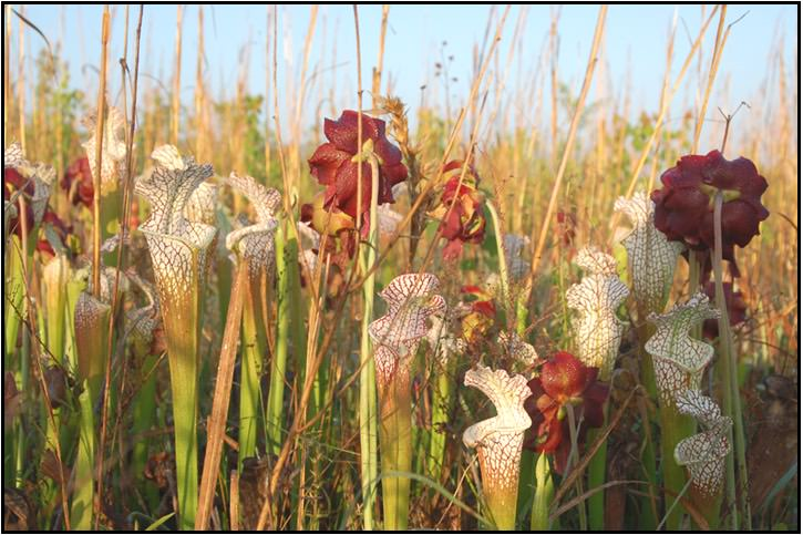 A stand of pitcher plants
