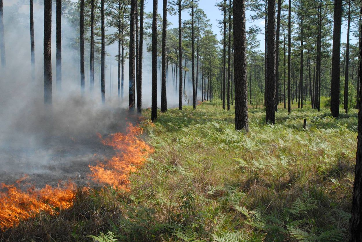 Burning longleaf pine stand