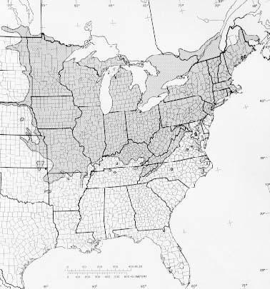 Tilia Americana L