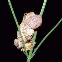 Effects of Climate on Frog Breeding Activity