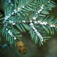 Impacts of Eastern Hemlock Mortality on Southern Appalachian Ecosystems