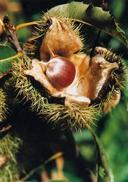 Close up of a chestnut fruit