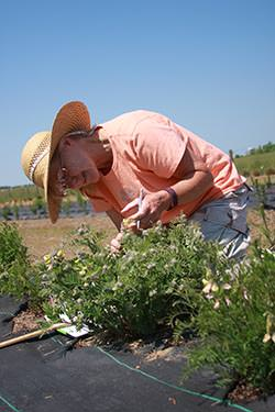 Joan Walker mesuring Tephrosia virginiana in an experimental garden